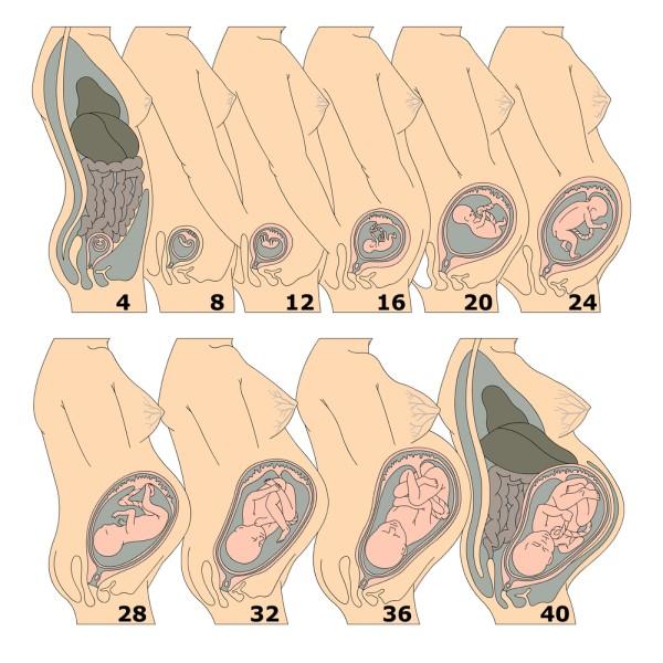 Growth of Fetus in Weeks